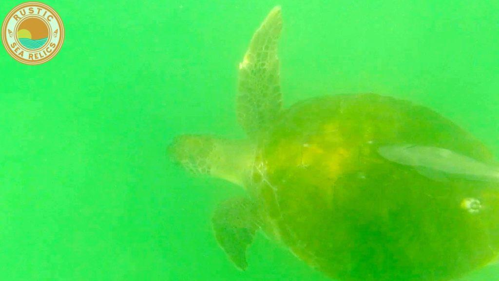 Sea Turtle in Destin Florida